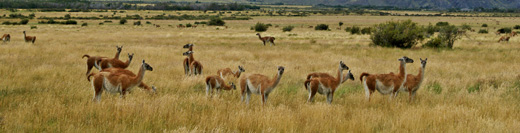 Guanacos grazing at Valle Chacabuco, Patagonia, Chile